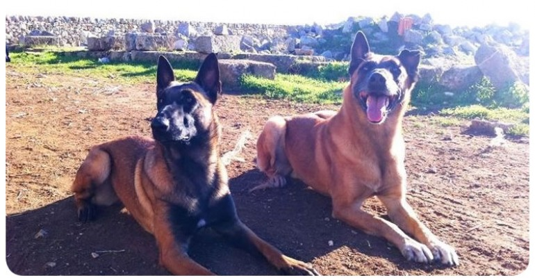 01-Ashley-Twin-Malinois